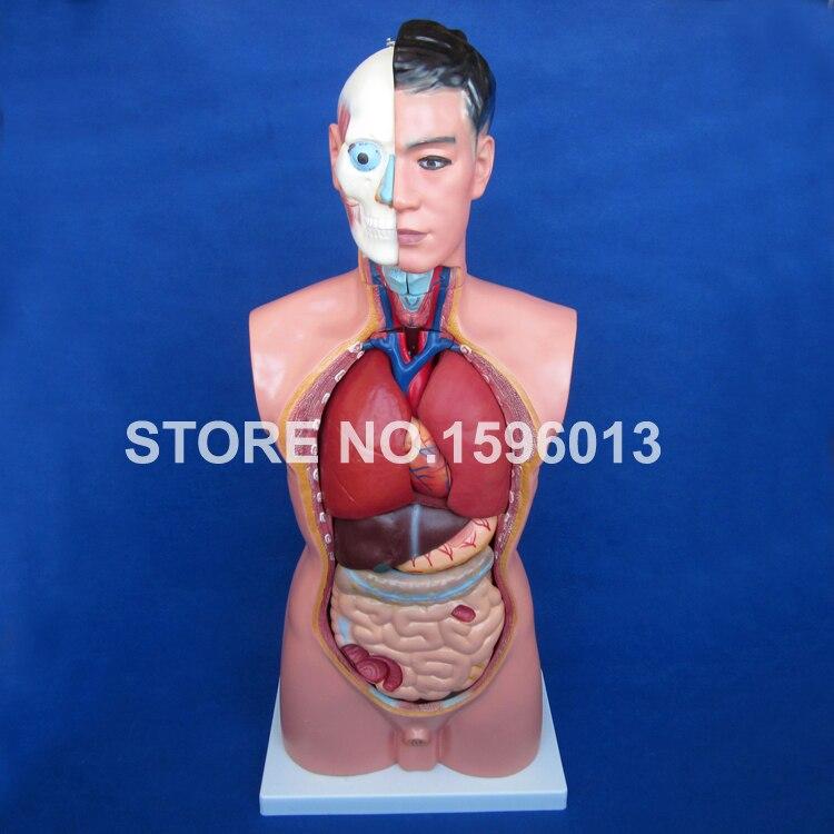 85 cm torso masculino con órganos internos 19 piezas, torso humano ...