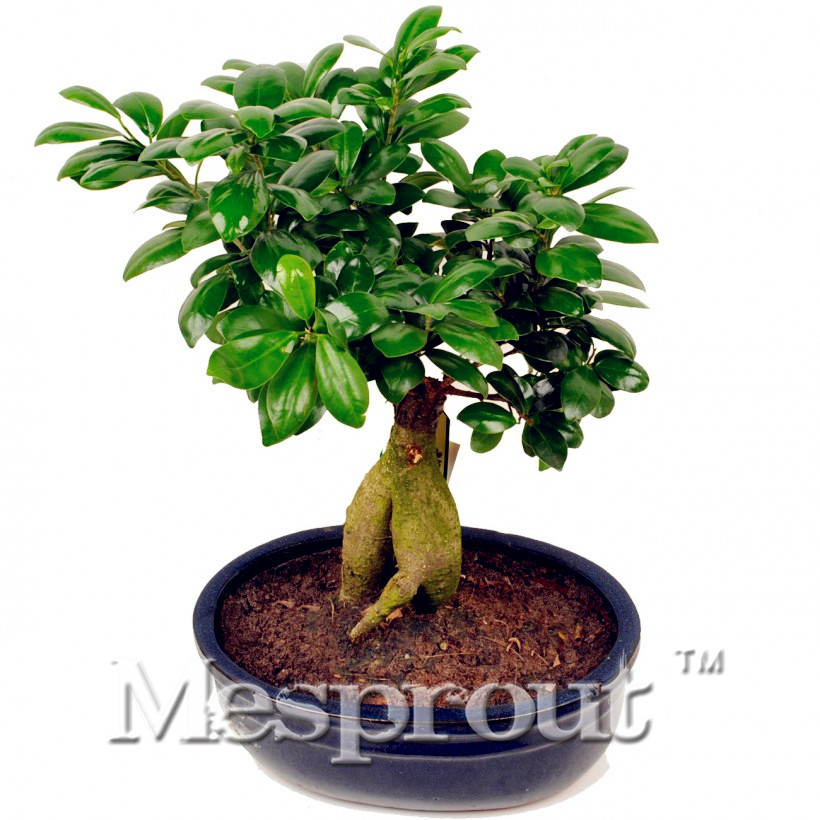Buy 50pcs Bag Banyan Tree Seeds Ficus Ginseng Seeds Bonsai