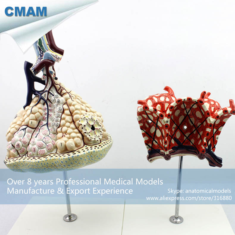 12504 CMAM-LUNG07 Human Anatomical Model Lobule and Alveolus of Lung , Anatomy Models > Respiratory anatomy larynx heart and lung model