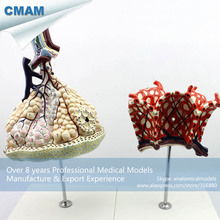 CMAM-LUNG07 Human Anatomical Model Lobule and Alveolus of Lung , Anatomy Models > Respiratory