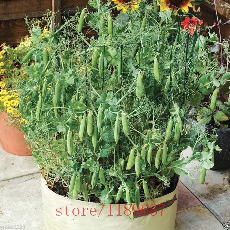 20pcs'Tom Thumb'Dwarf обстрел горох растения, фасоль органический овощ, hign 6-8 см Heirloom (открытое опыление) для домашнего сада