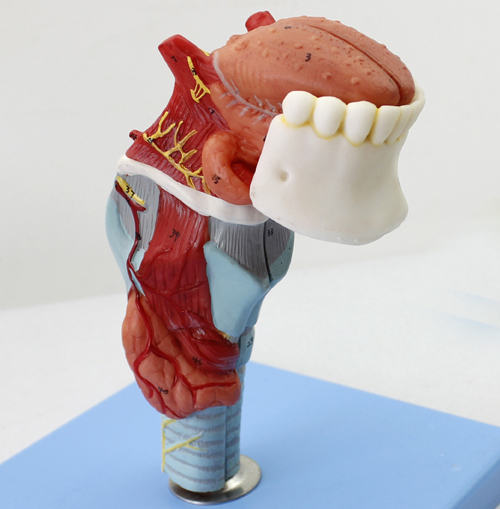 Anatomical Nasal Model With Oral Larynx Anatomical Model Human