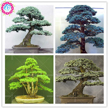 10 pcs/bag cedar Seeds kinds of green bonsai tree seeds Japanese cedar plant for home garden Straight perennial woody plants