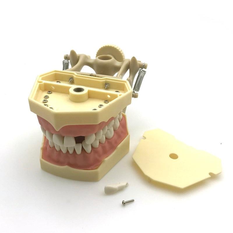 1 Piece SF Type Dental Teeth Study Model Screw Fixed Teeth Model, Soft Gum & DP hot teeth development models teeth and jaw development model dental teeth models