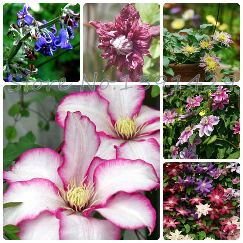 200 pcs/bag,clematis seeds,clematis plant seeds,clematis send you mixed colors total 200 for home garden