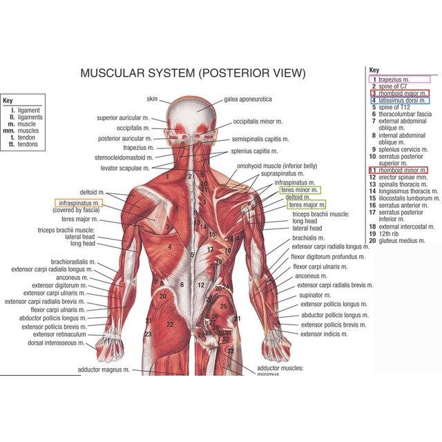 J0857 Menschlichen Körper Struktur Anatomie Diagramm Pop
