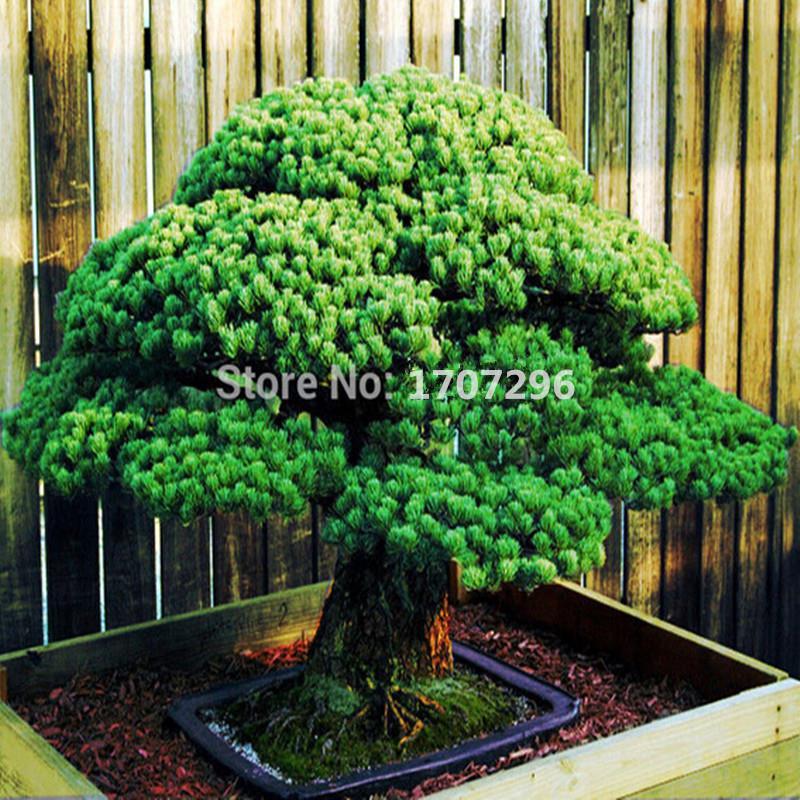 Japanese Red Cedar (Cryptomeria japonica) Sugi Tree Seeds Evergreen Bonsai Home gardening - 5 pcs/ lot