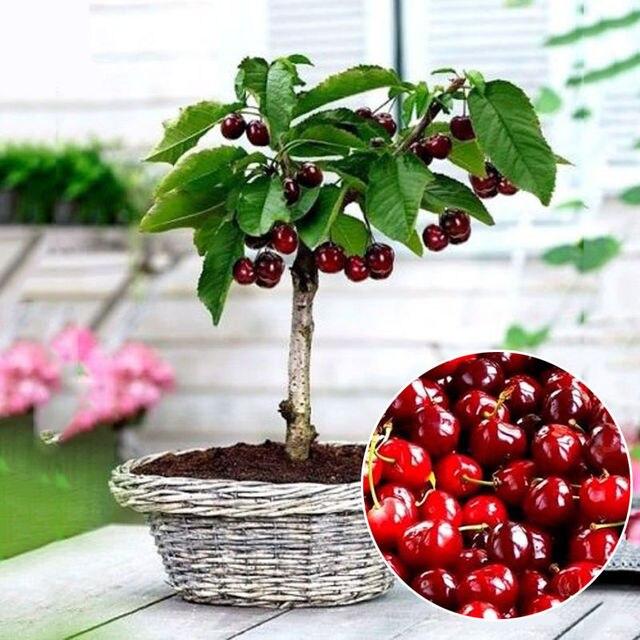 Semillas de bons i 20 unids brasil semillas de cerezo for Planta perenne en maceta de invierno