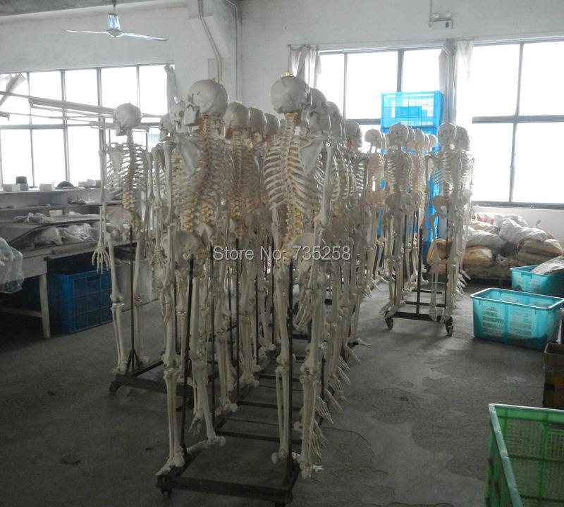 Cheap human skeleton model