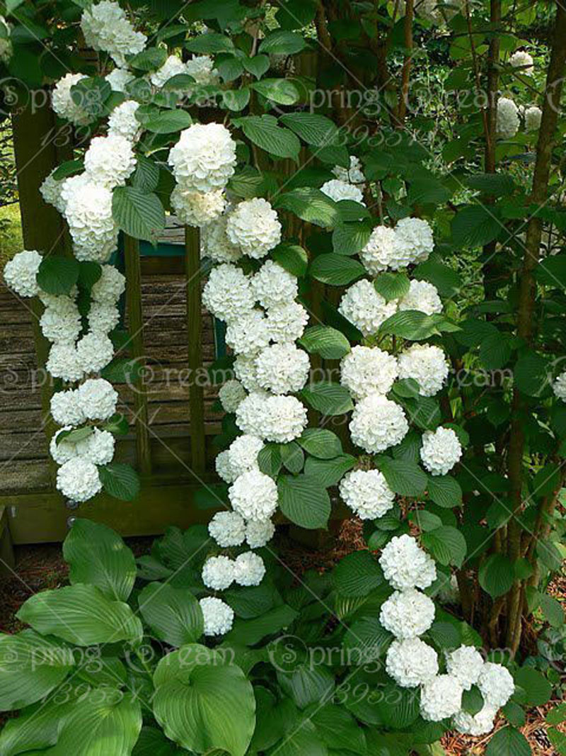 Online Buy Wholesale hydrangea seed from China hydrangea ...