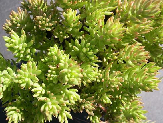 Heirloom 100 Seeds Sedum Autumn joy stonecrop Gold Moss Worm Grass Ice succulent Plant Flower Seeds