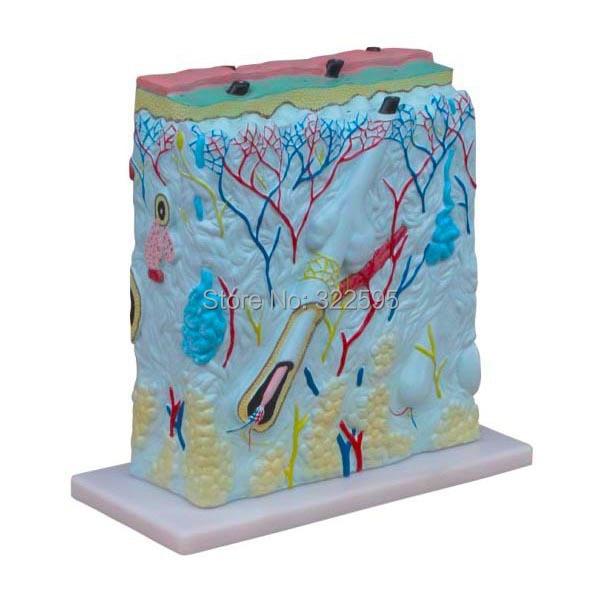 PVC 105 times enlarge model skin, skin anatomy of the model one pc ...