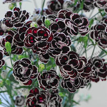 Rare Hardy Perennial Dianthus 'Blackjack' Carnation Flower Seeds, Professional Pack, 100 Seeds / Pack