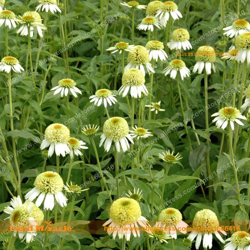 Rare cherry fluff coneflower flower seeds 20 seedspack heirloom rare cherry fluff coneflower flower seeds 20 seedspack heirloom white echinacea purpurea bonsai seed land miracle in bonsai from home garden on mightylinksfo