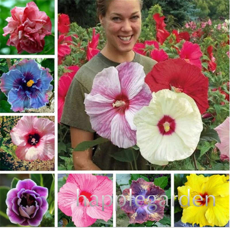 Detail Feedback Questions About Hot Sale 100 Pcs Giant Hibiscus