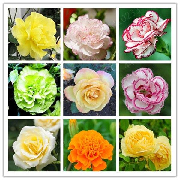 Sale! 150 Pcs Rare Carnations Bonsai Flowers Bonsai Dianthus Caryophyllus Flowers Bonsai For Home Garden Planting Best Mom Gift