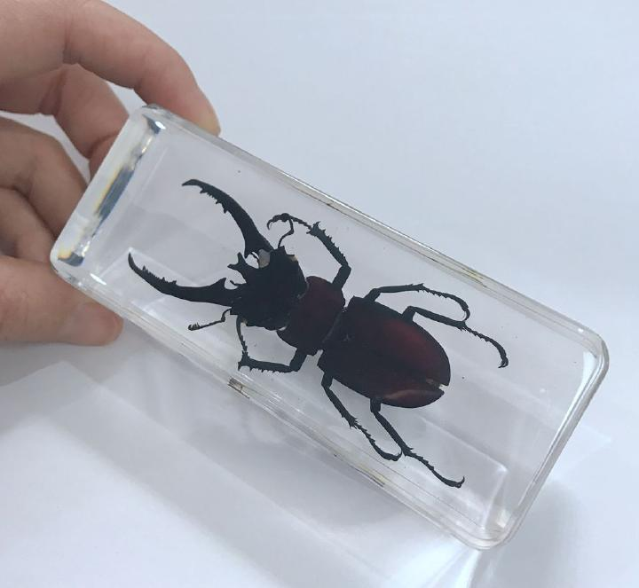 FREE SHIPPING YQTDMY Vintage Mountain Stag Beetle Specimen Block Paperweight Decor Oddity