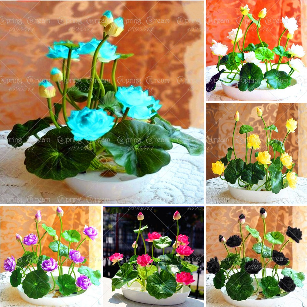10pcs/bag bowl lotus seeds hydroponic plants aquatic plants flower pot water lily seeds Bonsai pot for home Garden