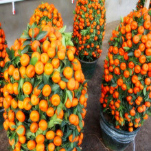 Balcony Patio Potted Fruit bonsais Orange China Climbing Plants Tree 10pcs Free Shipping