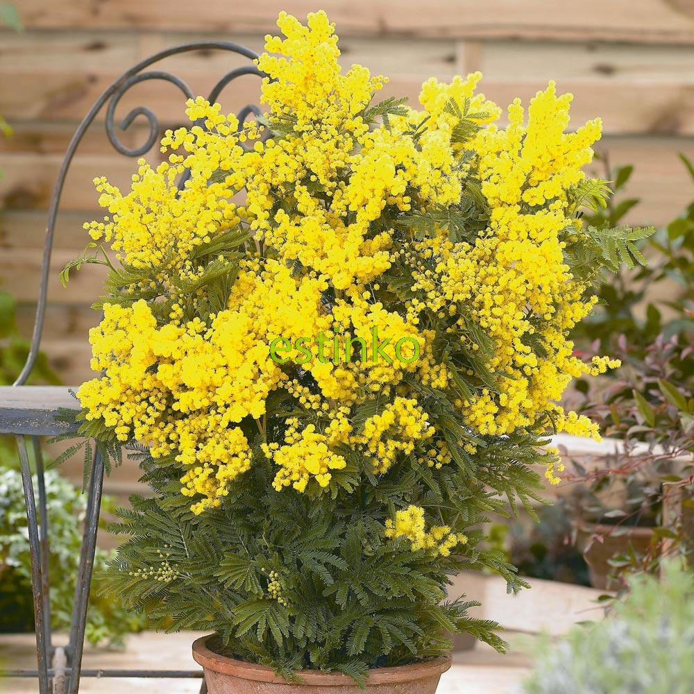 20pcslot yellow mimosa seeds flower seeds garden bonsai potted 20pcslot yellow mimosa seeds flower seeds garden bonsai potted plant diy home garden free shipping mightylinksfo