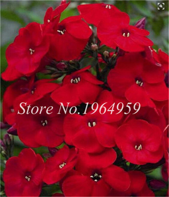 100 Pcs Exotic Periwinkle Bonsai Flower Mix Vinca Cover Behind House Jardin Blooming Flower Bonsai Light Up Your Personal Garden