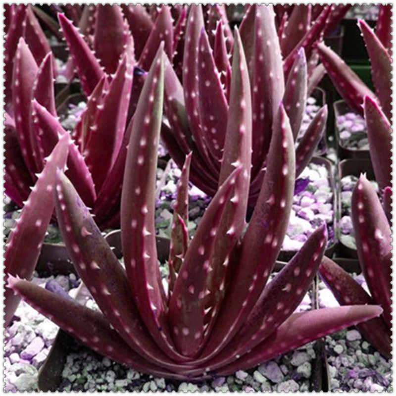 100 adet Aloe bonsai Mix Mükemmel Houseplants Etli Aloe Vera bonsai Kullanımı Güzellik Yenilebilir Kozmetik Bonsai Bitkileri Dikim