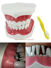 1PC Dental Educational Tooth Care Dental Teaching 2 times Study Model Standard Brushing Model with Tooth Brushing 2 types
