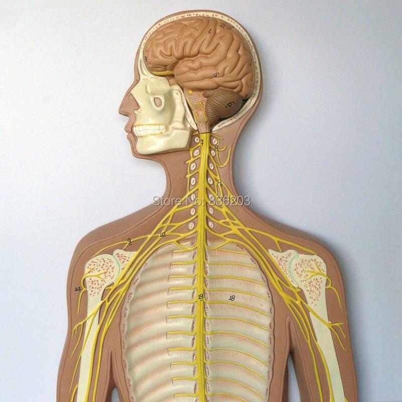 Menschlichen anatomie Nervensystem Anatomische Modell Herz anatomie ...