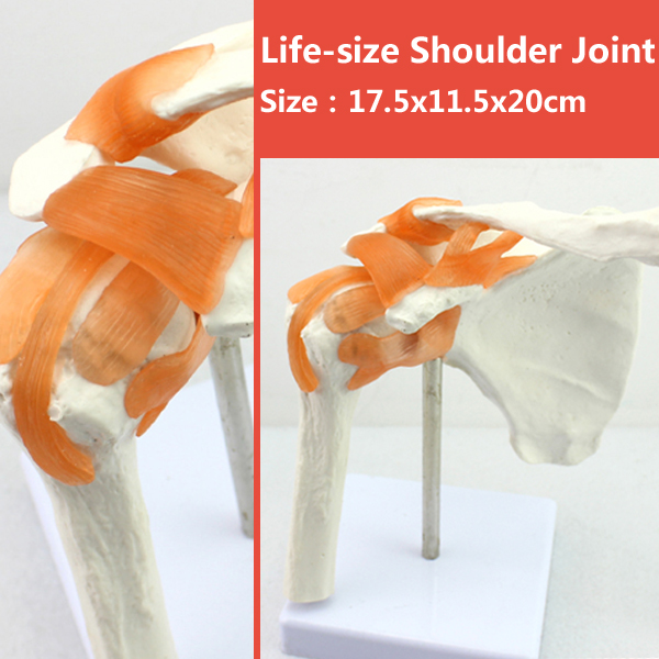 12354 CMAM-JOINT07 Life-Size Human Shoulder Joint Skeleton Model,  Medical Science Educational Teaching Anatomical Models 1 2 life size knee joint anatomical model skeleton human medical anatomy for medical science teaching