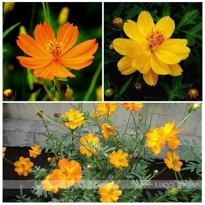 Free shipping 100pcs Bright Lights Cosmos Seeds, Cosmos sulphureus Gardening Seeds