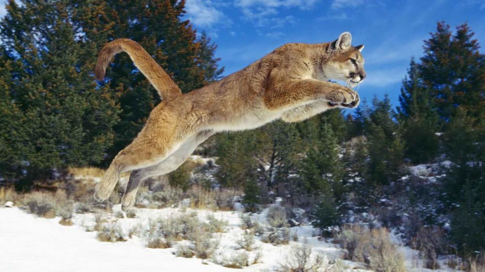 Bildergebnis für Puma springt