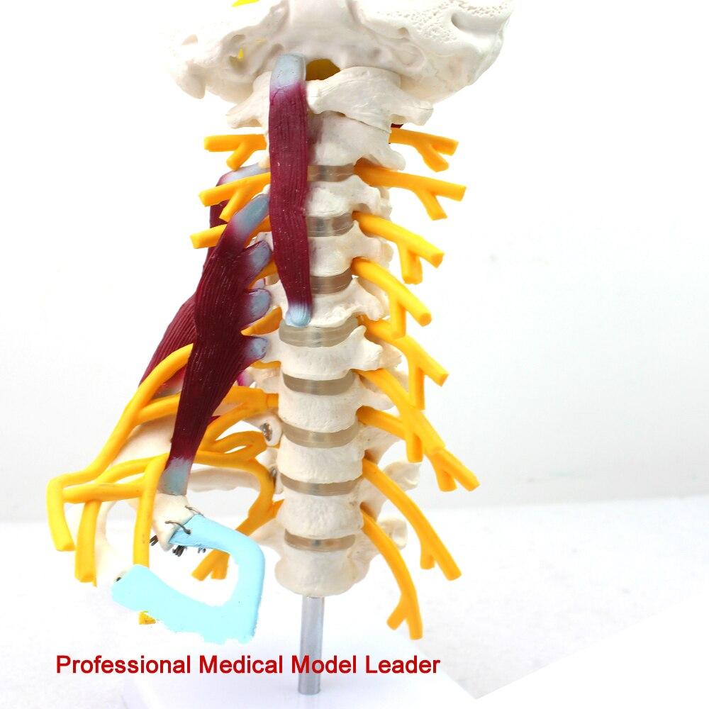 Medical human cervical spine model brachial plexus neuromuscular model human bone specimen model
