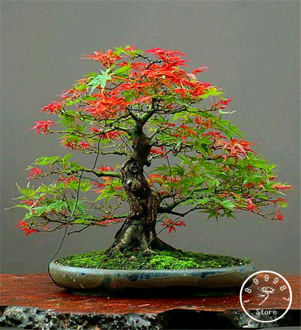 50 Canada Mini Red Maple Bonsai Garden DIY Bonsai Maple Tree Plant,#WC9TON