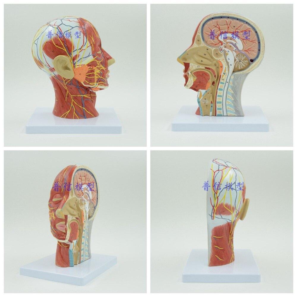 DongYun Menschlicher schädel mit muscle nerven schiff anatomisches ...