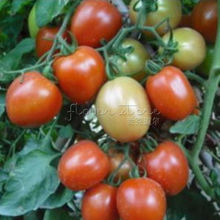 100 Tomato Roma seeds~~vegetable fruit seed