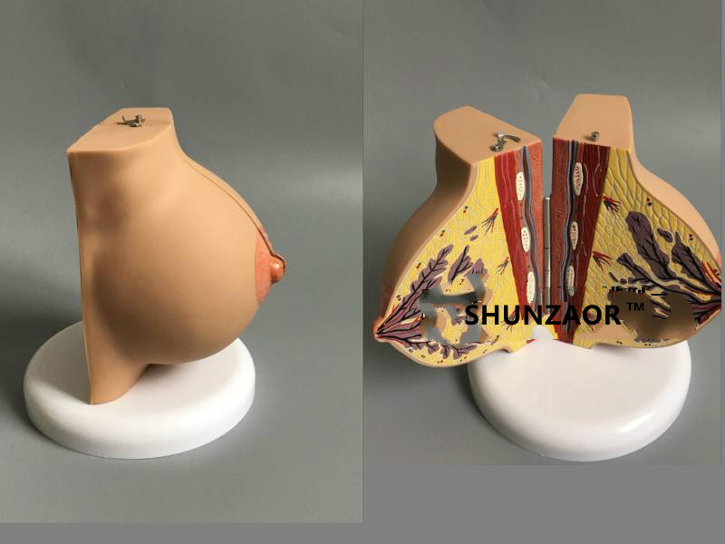 Female Stationary Stage Breast ModelBreast Beauty Model Gynecological For Anatomy Model Of Medical Teaching