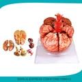 Расширенный 9-часть мозг модели с артерии, анатомическая модель мозга, 3D модели человеческого мозга для школьного обучения