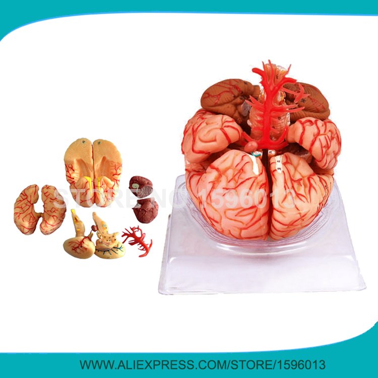 Advanced 9 part Brain Model with Artery, Anatomical Brain Model,3D ...