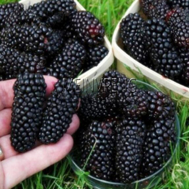 Nieuwe 2018! 200 Pcs / Lot Sweet Black Berry Giant Blackberry Heirloom Blackberry Trees Dwarf Triple Crown Blackberry Black Mulberry