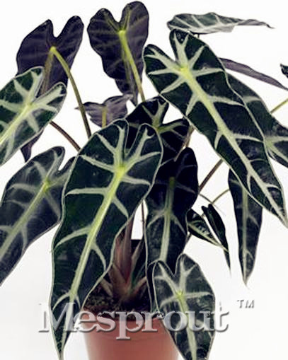 50pcs plant black leaf alocasia seeds bonsai tree seeds indoor ornamental pla - Plante interieur originale ...