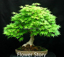 25 Canada Red Maple Seeds-- Real & Fresh Bonsai Seeds ,DIY Home Garden Mini Plant, Free Shipping(China)