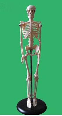 SHUNZAOR Hight quality human anatomy of model of the skeleton, 45cm (17 Inch ) plastic standing human skeleton life size for horror hunted house halloween decoration
