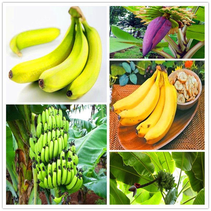 200 Pcs Hot-selling Genuine!Dwarf Banana Tree Bonsai Fruit Plant Rare Mini Bonsai Musa Velutina Da Fruta Free Shipping