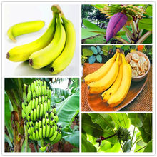 200 Pcs hot-vendita Genuini! nano Banana Albero bonsai di Frutta pianta Rare Mini Bonsai Musa Velutina da Fruta Spedizione Gratuita(China)