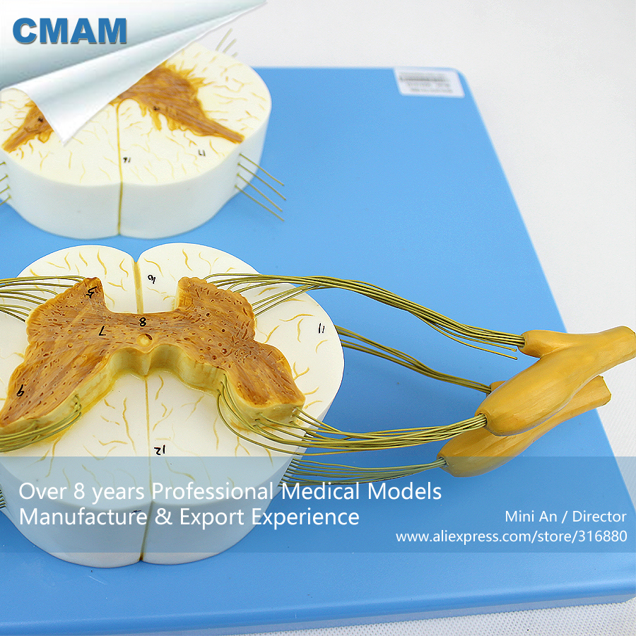 CMAM-VERTEBRA13 Human Anatomy of Spinal Cord and Nerves, Medical Science Educational Teaching Anatomical Models anatomy of a disappearance