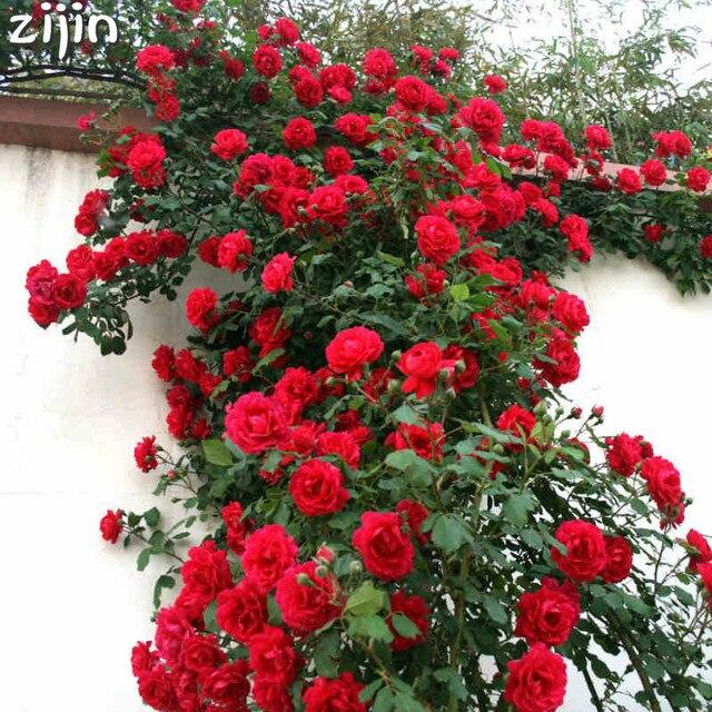 Rara escalada Rosa Bonsai Flores perennes decoración De jardín 50 piezas cerca cobertizo rosas Flores Bonsai De Plantas De Flores