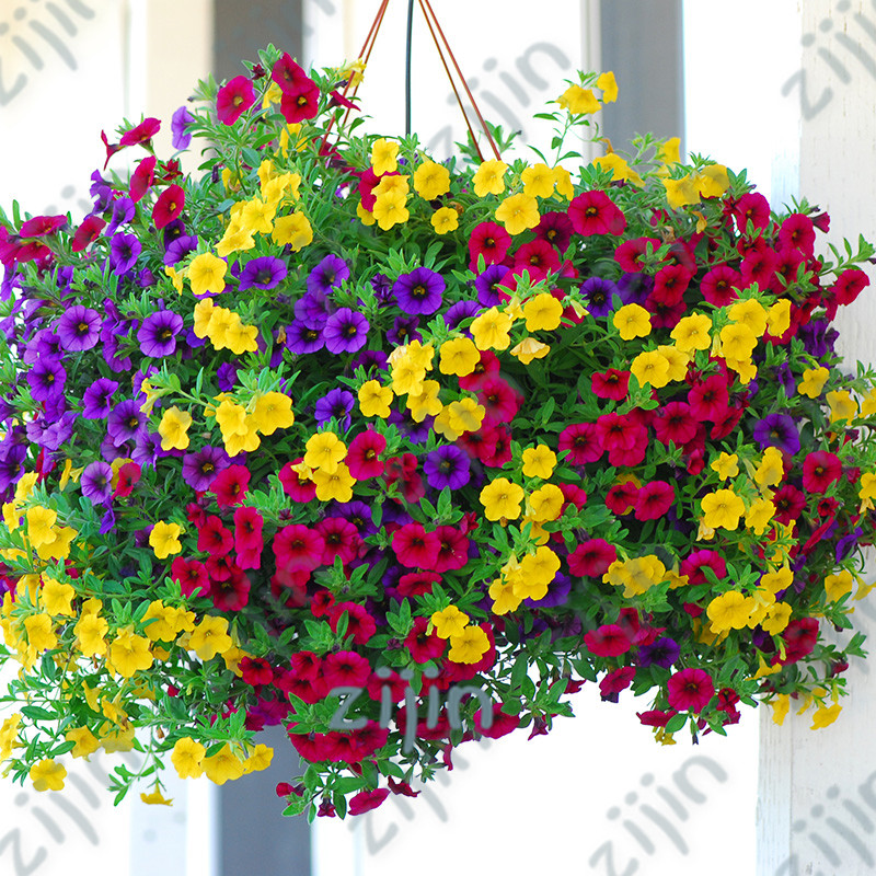 Hardy 100 Pcs very Beautiful Garden Flowers Light Up Your Garden Fancy Colours ,rare Variety Realistic Heirloom Hanging Petunia Mixed Bonsai