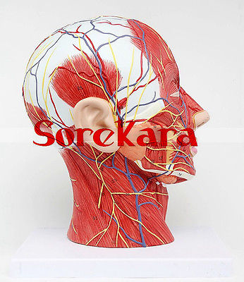 Human Anatomical Skull & Nerve Blood Vessel Head Viscera Medical Organ Model School Hospital some nerve