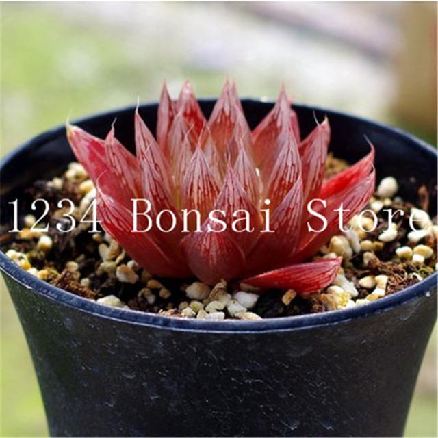 Sale! 200 Pcs Rare Yulu Bonsai Succulent Plants Haworthia cooperi Bonsai Flower Transparent Lithops Pseudotruncatella potted