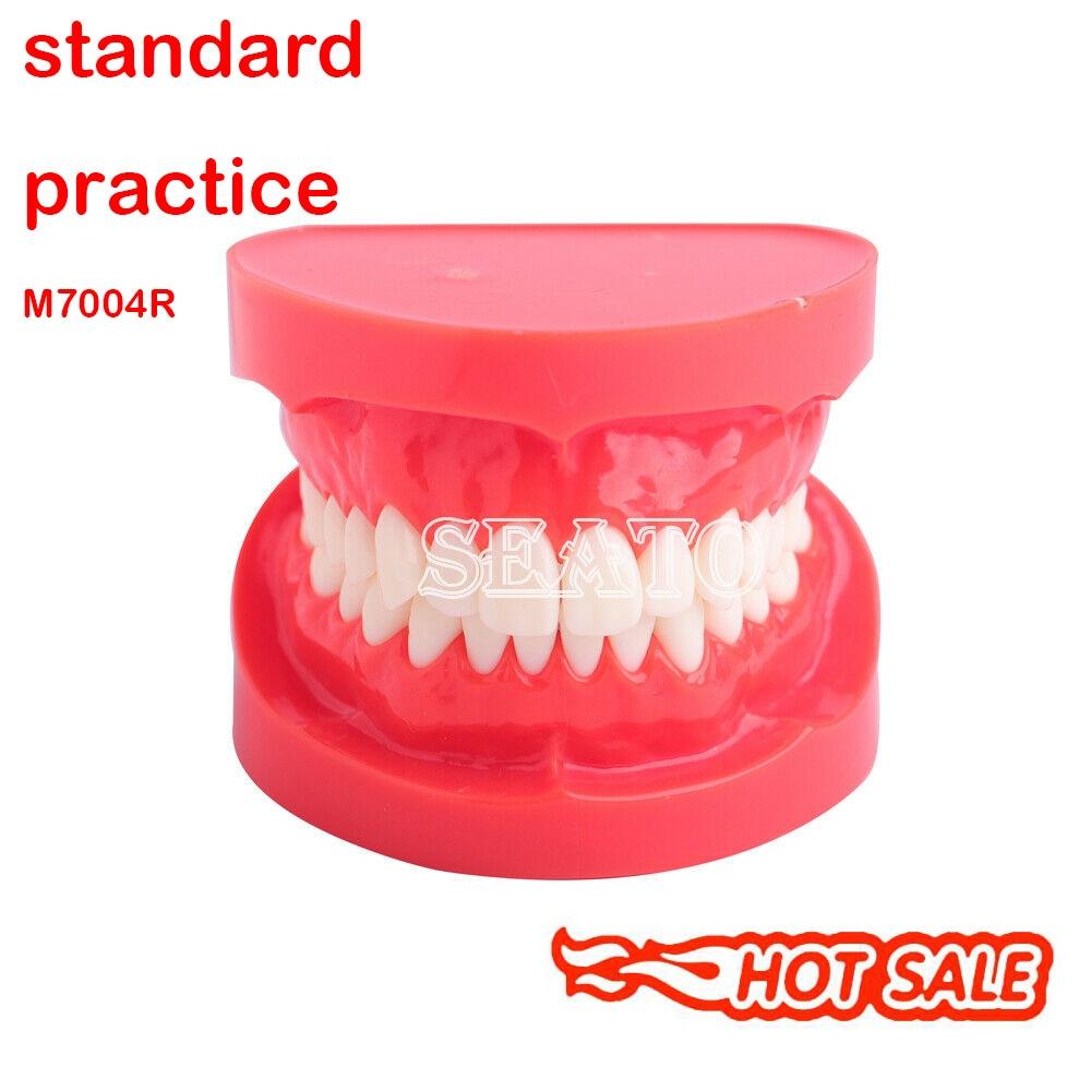 Démonstration adulte modèle de dents Typodont modèle étude dentaire 7004 modèle d'enseignement